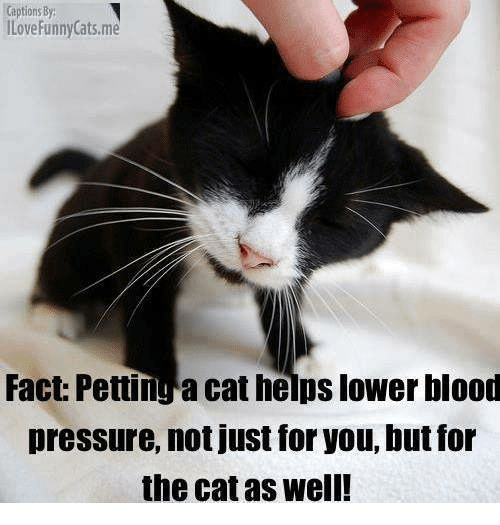 Bloods Cats and Facts Captions By ILove Funny Cats Fact Pettinga cat helps lower blood pressure not just for you Dutfor the cat as well