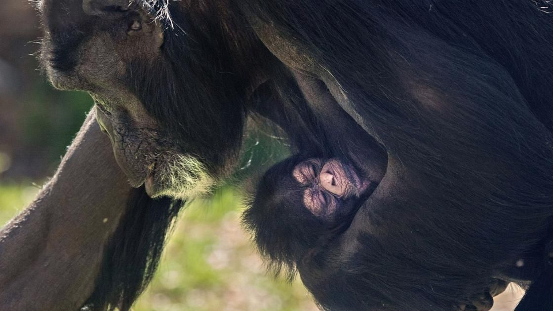 Baby chimpanzee born at North Carolina Zoo National