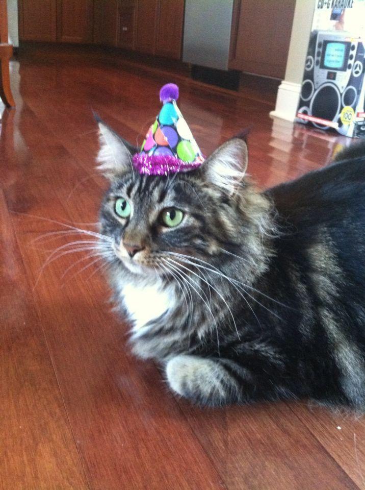 Party Hat Gemma Maine Coon Cat party hat