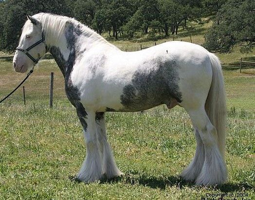 17 Best images about Gypsy Horse Tinker on Pinterest