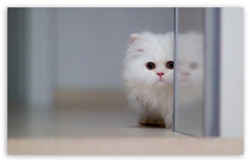 Download Cute White Cat HD Wallpaper