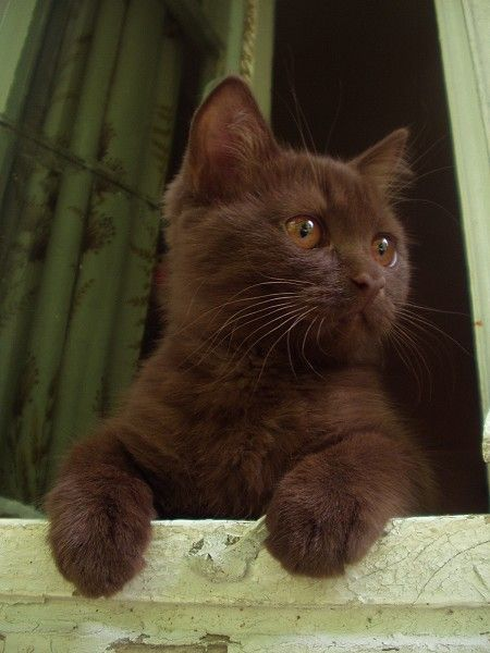 Look at this pretty chocolate kitten Chocolate is a dilution in cats that only affects