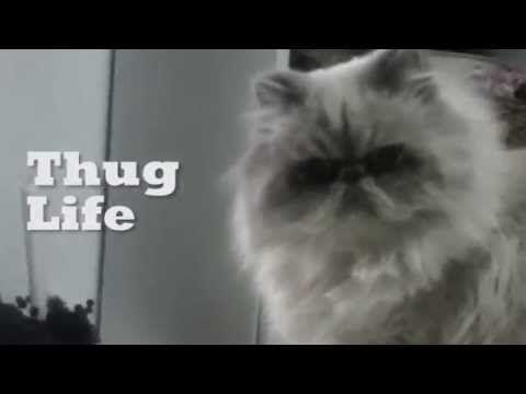 Gato malo Thug Life