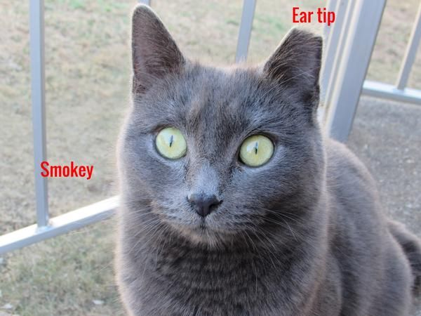 Ear tipping will prevent another rescuer from trapping the same cat It also lets an animal control officer know it is a sterilized feral cat