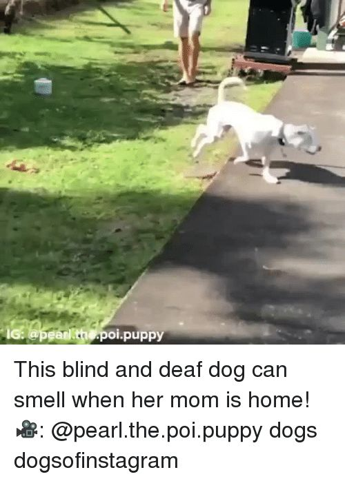 Dogs Memes and Smell pean th poi puppy This blind and deaf