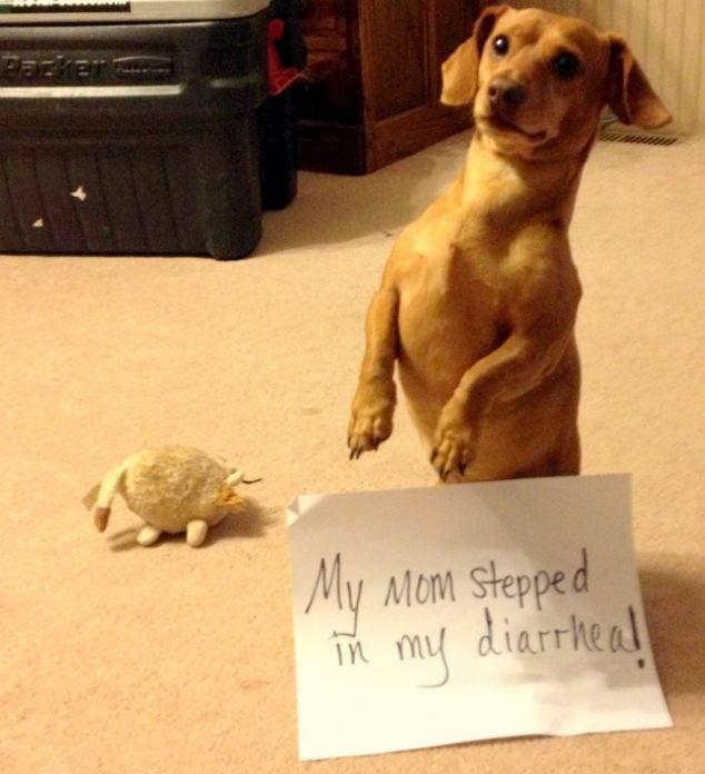 Dachshund Breed Dachshunds Pointer Dog