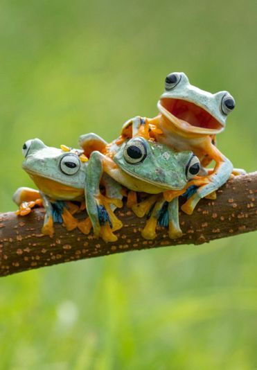 Three Reinwardt s flying frogs monly known as the black webbed tree frog or the green flying frog pose for the camera