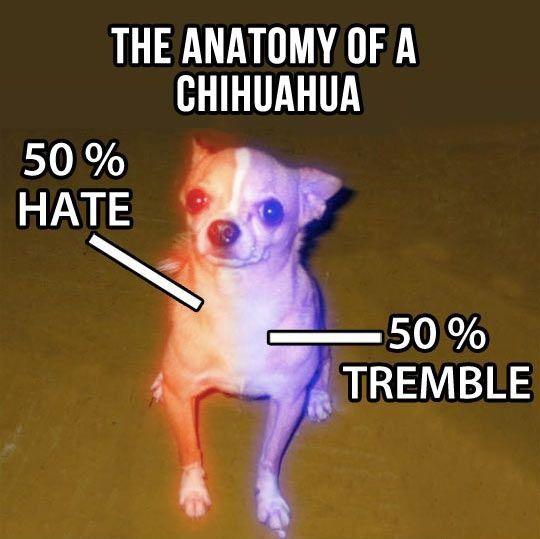 cool Chihuahua dog percentage colors