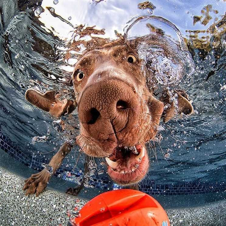 swimming dog Underwater Dogs Weimaraner Funny Dog Peta Best Dogs