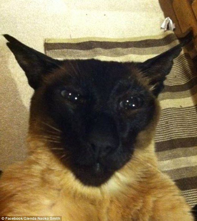 A Siamese cat has been leading a life of deception after living a double life as
