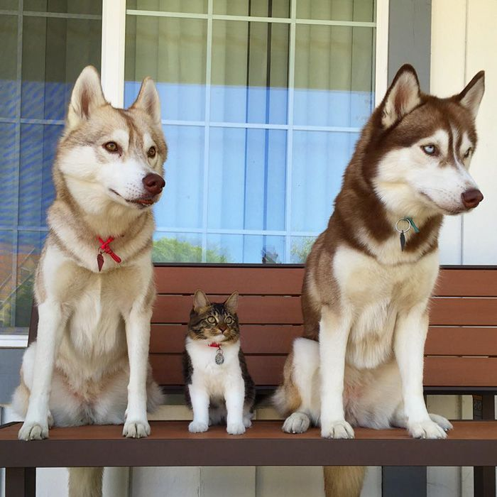 rosie cat grows up husky mother lilo 34