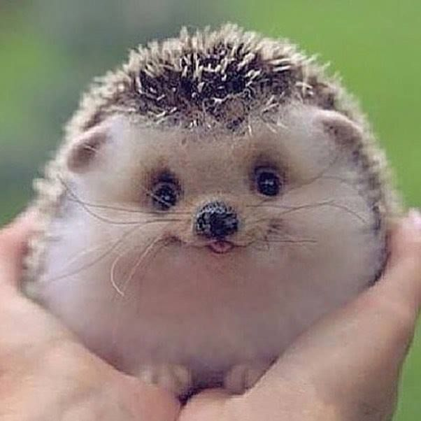 Hedgehogs are cute but they can be jerks