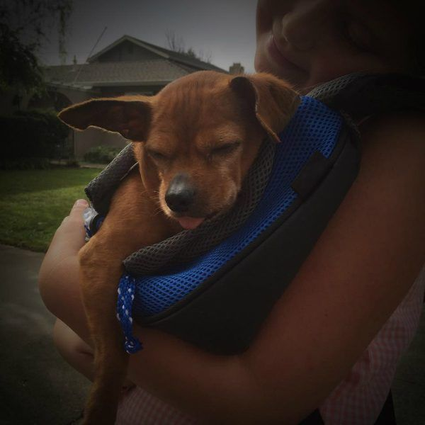 Taco the Chihuahua Pit Bull Rescue Story