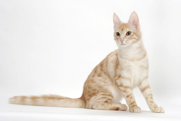 AP 1LJRPR Turkish Angora Cat