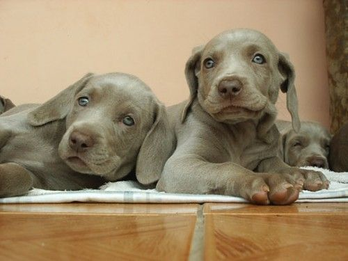 Download the Awesome Funny Dog Memes Weimaraner