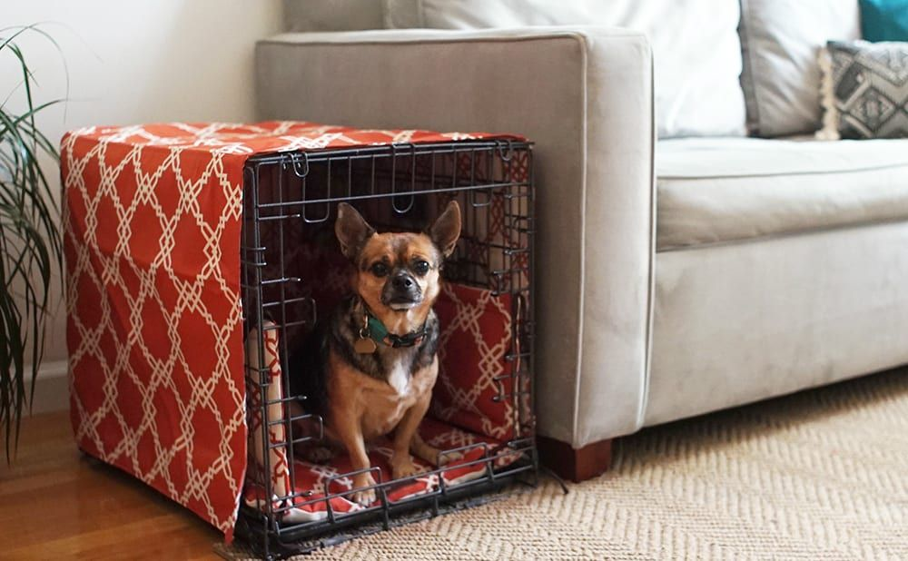 Jack Russel Chihuahua mix in a crate next to a beige couch