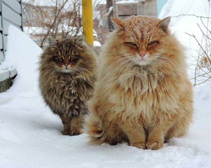 5 Siberian Cats