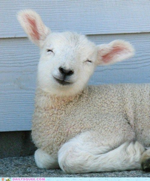 Smiley Sheep In case of bad day look at this board Pinterest