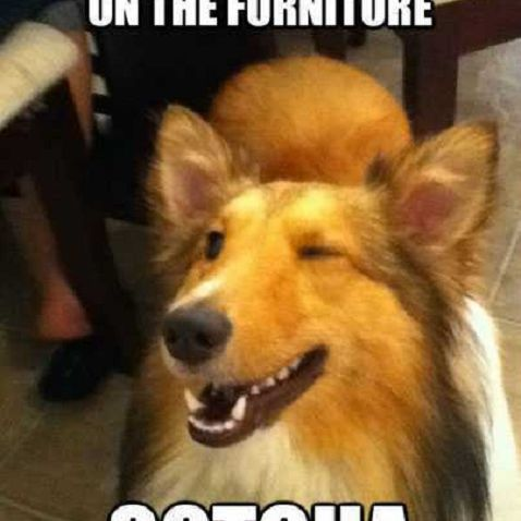 Winking Collie meme