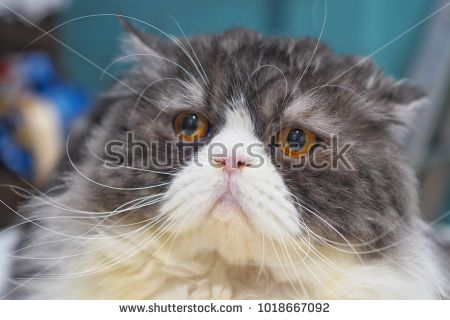 Funny Persian cat color white and gray
