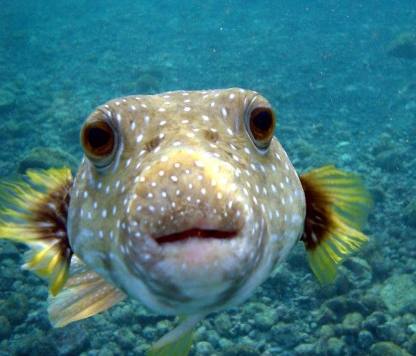 Little is known about them but the funny thing is that the Puffer Fish is more deadly after its than during its life