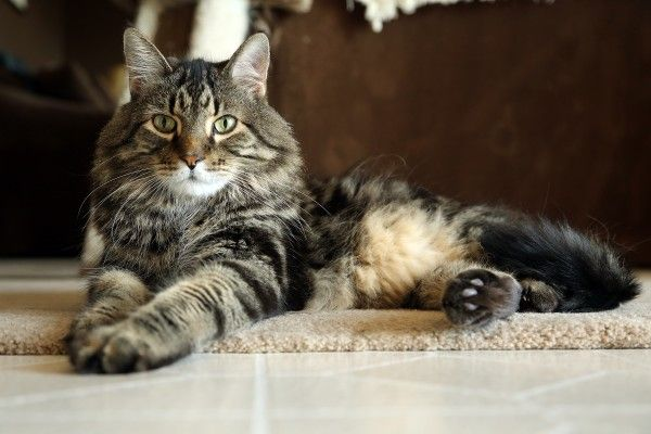 Titan a 14 year old maine coon is large and in charge with the softest fur thanks to his meticulous grooming skills