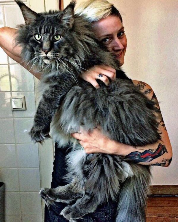 Cats Mainecooncats Funny Memes Maine Coon
