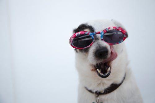 Close Up of Dog Wearing Sunglasses
