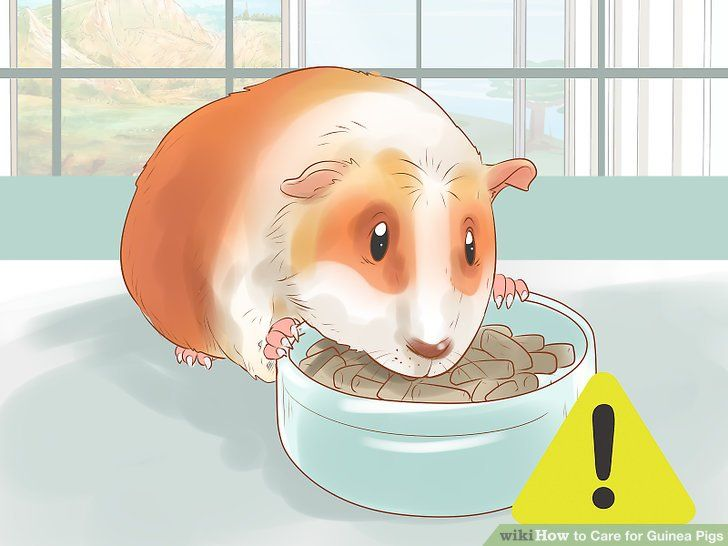 Image titled Care for Guinea Pigs Step 15