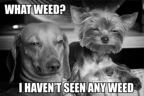 When you re looking for your weed and your roomies are like stoners roommates weed memes LMBO Lol Funny Dogs