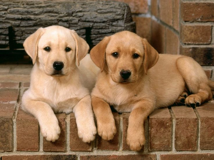 Golden labrador retriever puppies my favorite Dog Days