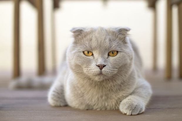 In 1970 the Scottish Fold crossed the pond when three kittens were shipped to Neil Todd a New England scientist who was investigating spontaneous genetic