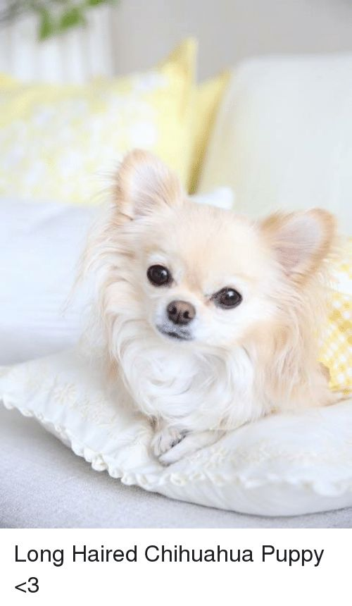 Chihuahua Memes and Puppies Long Haired Chihuahua Puppy 3
