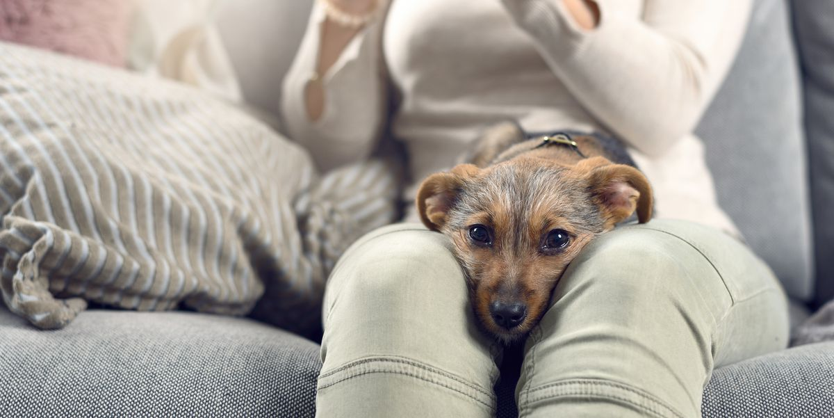 contented little dog sleeping on its owners lap royalty free image