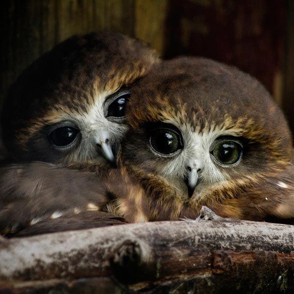 "Birds of a feather cuddle to her ""Love Birds"" by Ross Van der Watt via"