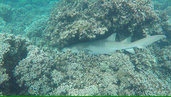 Tahiti Lagoon Paradise Sleeping shark spotted during snorkeling tour