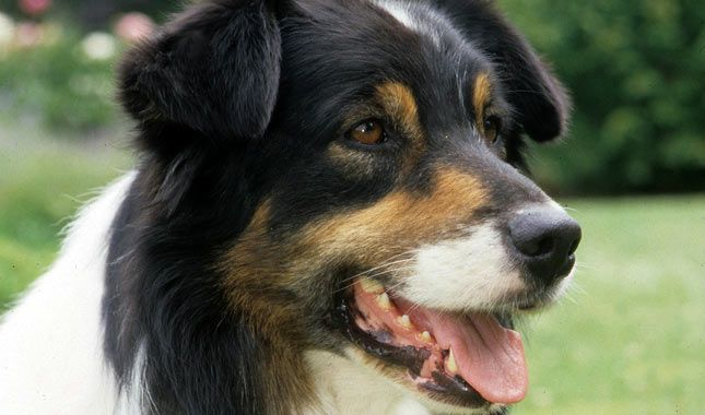 Download the Marvelous Bernese Mountain Dog Sitting Funny Pictures