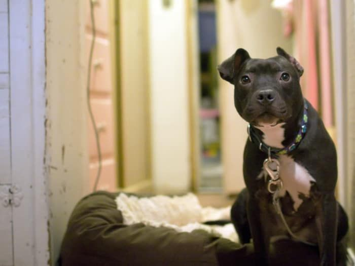 1 Pit bulls are stereotyped as a vicious untrustworthy breed