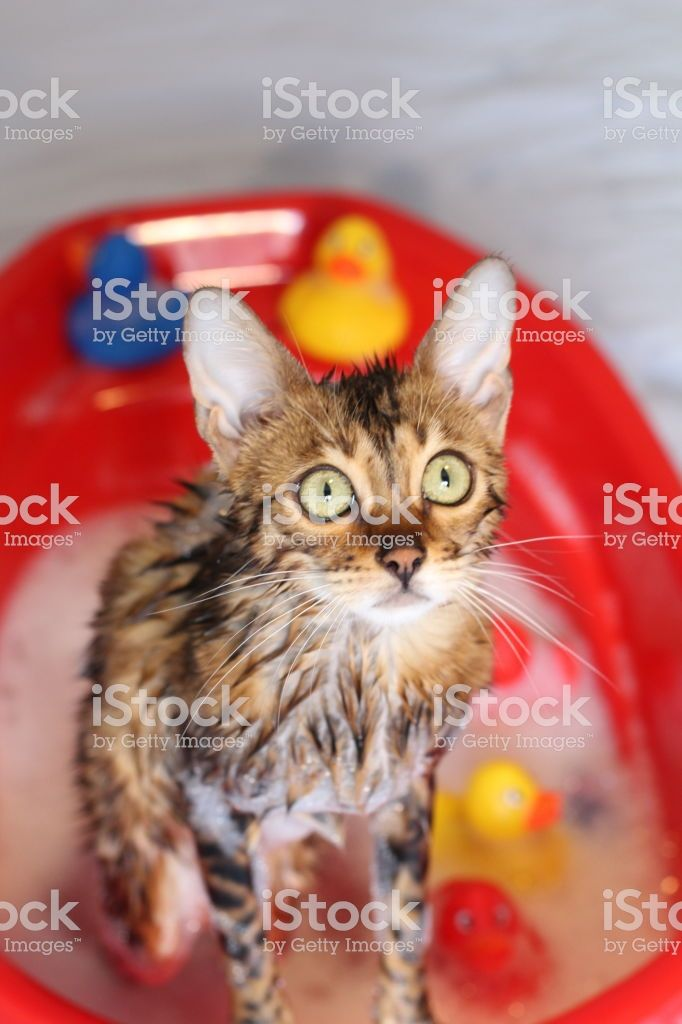 Funny cat taking a bath Stock image