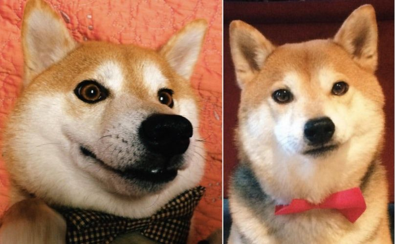 15 Shibas From Instagram You Have To Meet