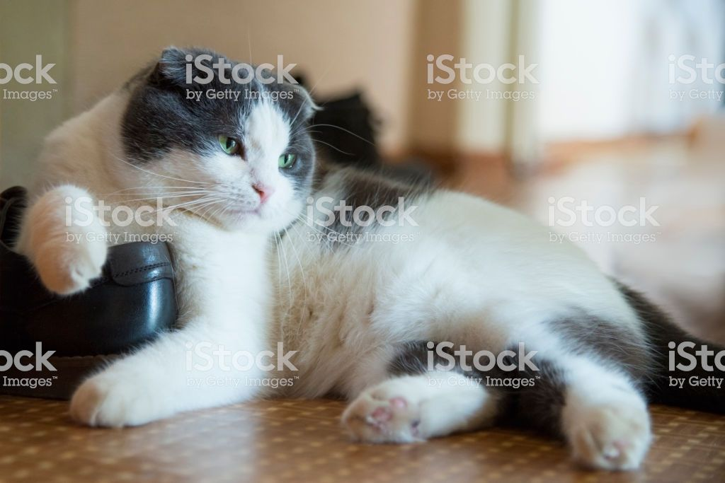 A tired funny cat lies on a shoe on the floor royalty free stock photo