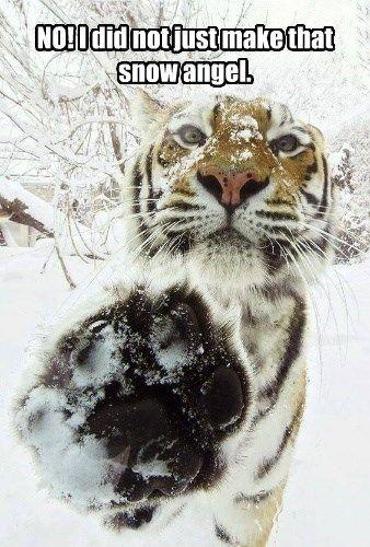 snow tiger caption Cats