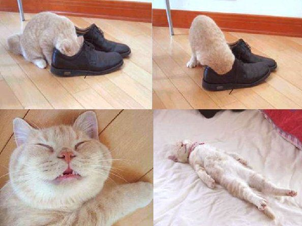 Cat smells shoes passes out funny