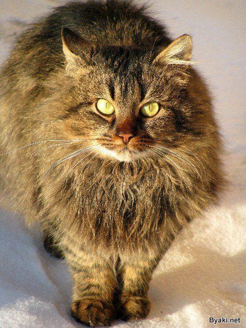 Fluffy cat in winter