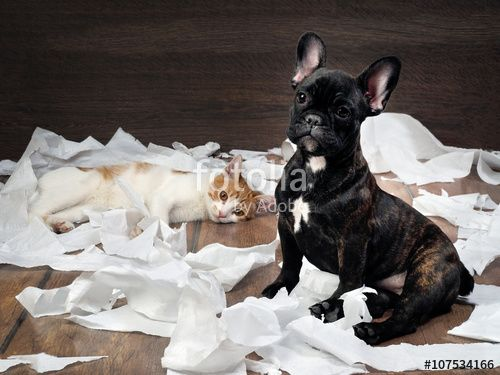 Funny dog and cat playing with toilet paper Dog French Bulldog puppy black color