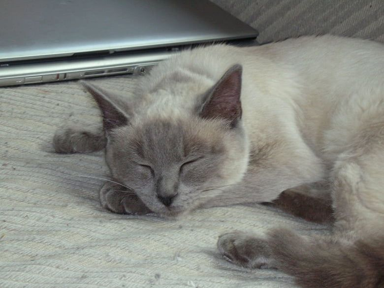 Ragdoll Ragdolls which were developed as a breed in California in the 1960s just love to cuddle In fact they may collapse like a ragdoll into the