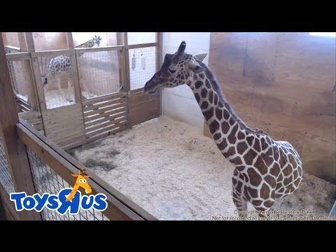 Animal Adventure Park s April the Giraffe Live Birth Archive footage