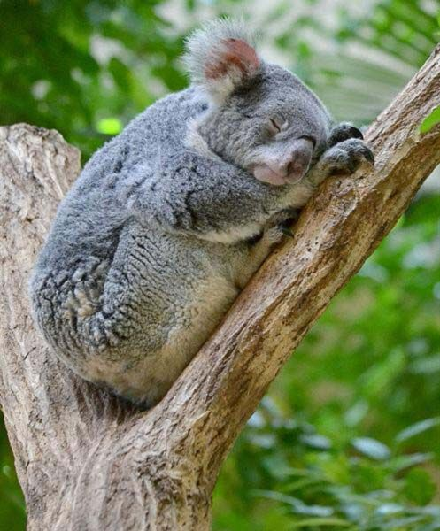 Download the Unique Funny Animal Pictures Koala