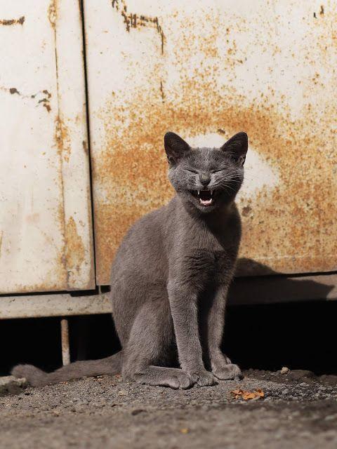 [24 Pics] Stray Cat s Funny russian blue cat