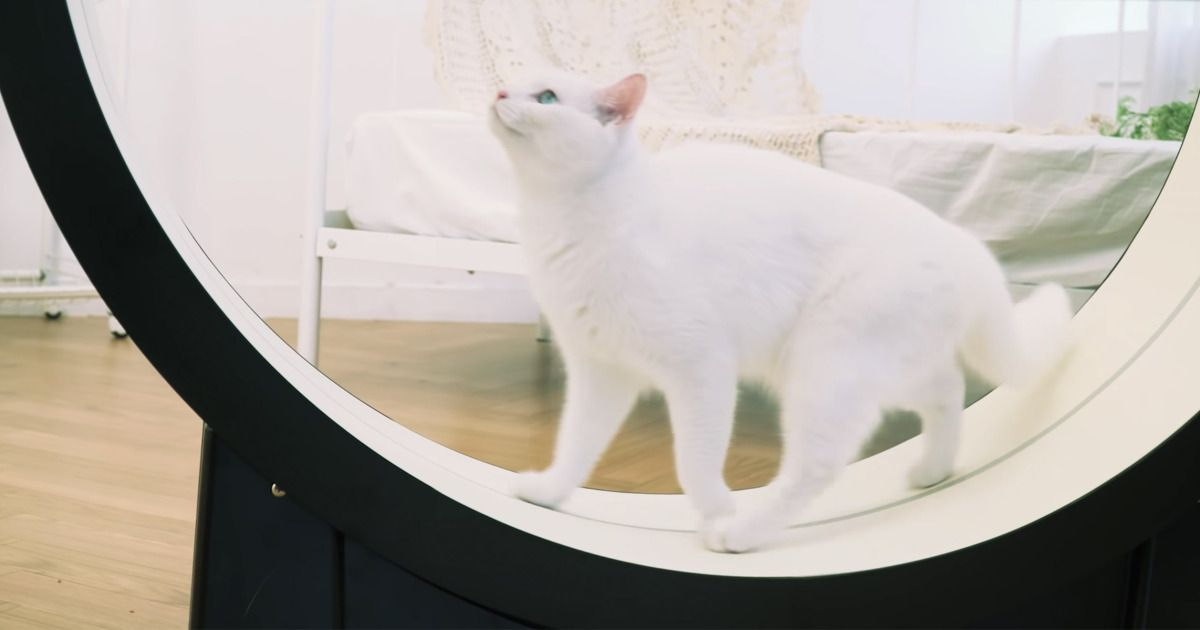 For $1 800 You Can Get a Cat Treadmill Designed to Entice Your Feline to Exercise